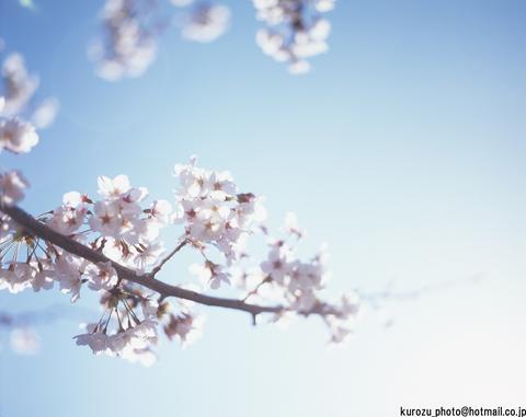 Cherry_blossoms